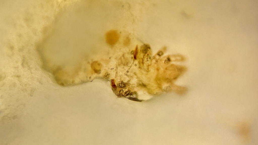A mite in a piece of Mimolette cheese